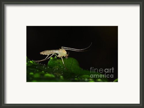 Mosquito Framed Print By Paul Ward
