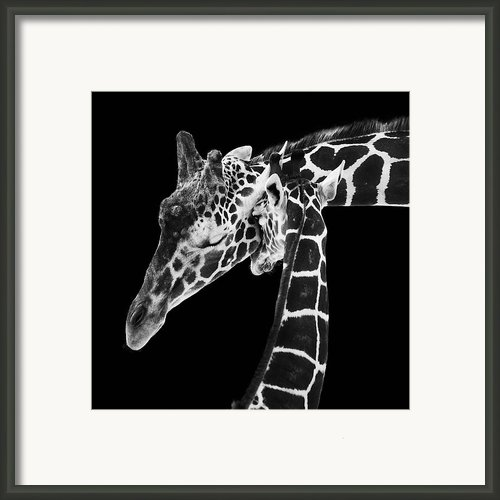 Mother And Baby Giraffe Framed Print By Adam Romanowicz