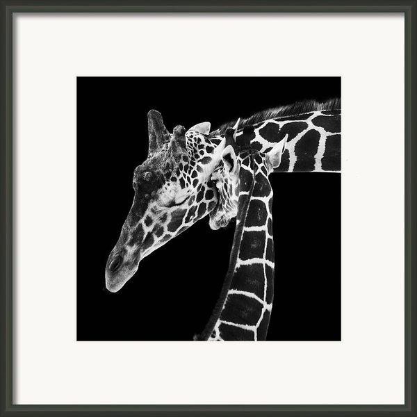 Mother And Baby Giraffe Framed Print By Adam Romanowicz