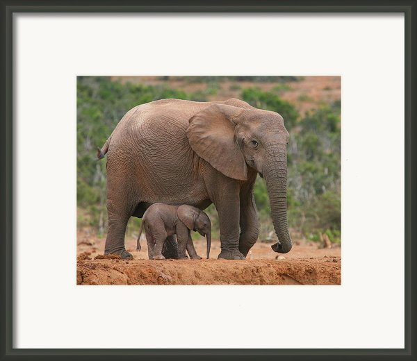 Mother And Calf Framed Print By Bruce J Robinson