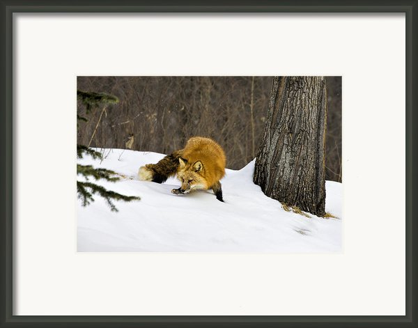Mousing Framed Print By Jack Milchanowski