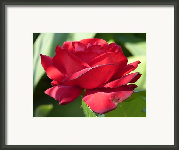 My First Rose Framed Print By Janina  Suuronen