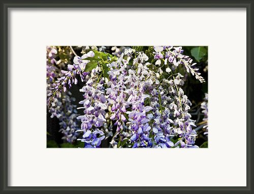 Nancys Wisteria Cropped Db Framed Print By Rich Franco