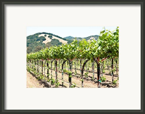 Napa Vineyard Grapes Framed Print By Shane Kelly