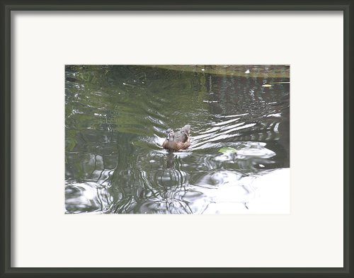 National Zoo - Duck - 121211 Framed Print By Dc Photographer