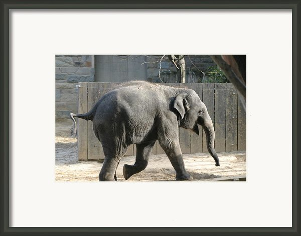 National Zoo - Elephant - 12126 Framed Print By Dc Photographer