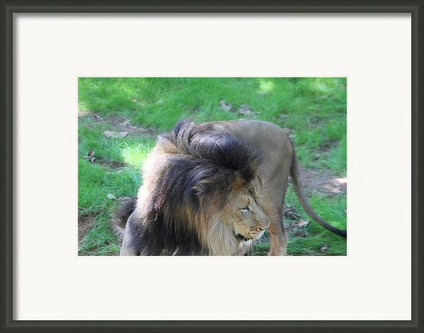 National Zoo - Lion - 01132 Framed Print By Dc Photographer