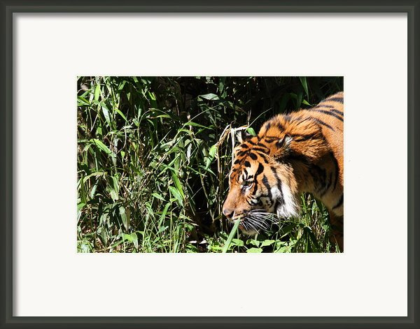 National Zoo - Tiger - 011311 Framed Print By Dc Photographer