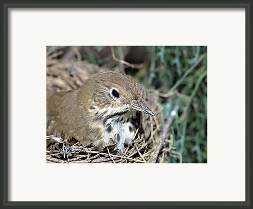 Nest In A Tree Framed Print By Susan Leggett