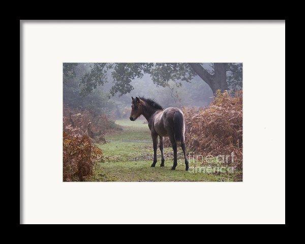 New Forest Pony Framed Print By Dave Pressland Flpa