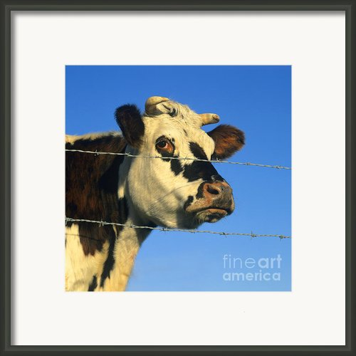 Normand Cow Framed Print By Bernard Jaubert