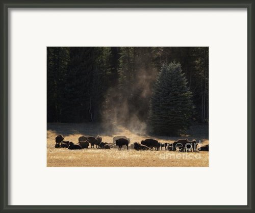 North Rim Bison Of The Grand Canyon Framed Print By Alex Cassels