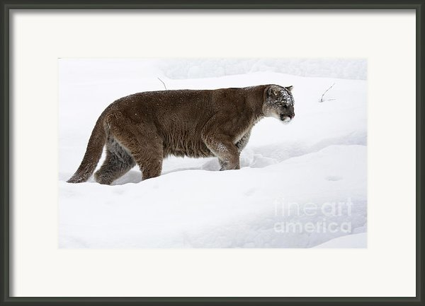 Northern Depths Cougar In The Winter Snow Framed Print By Inspired Nature Photography By Shelley Myke