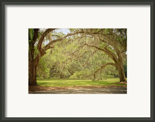 Oak Trees Draped With Spanish Moss Framed Print By Kim Hojnacki