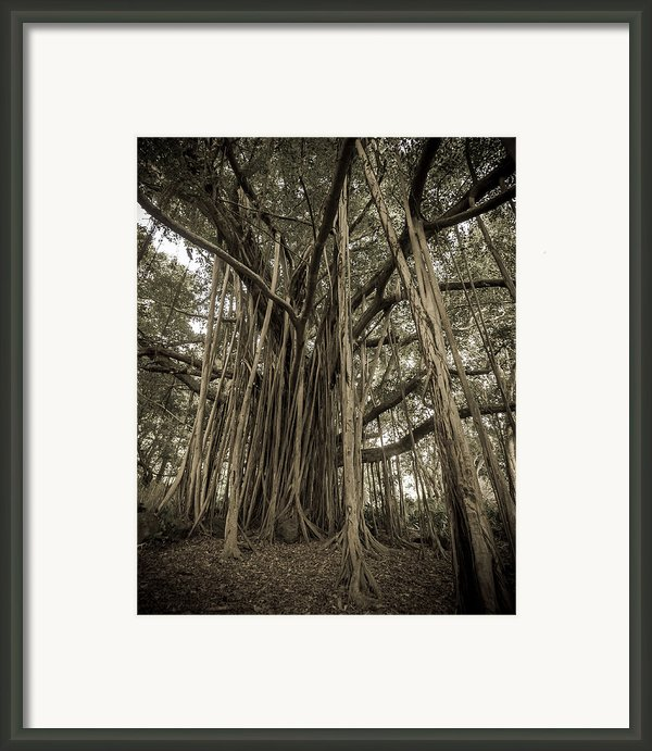 Old Banyan Tree Framed Print By Adam Romanowicz