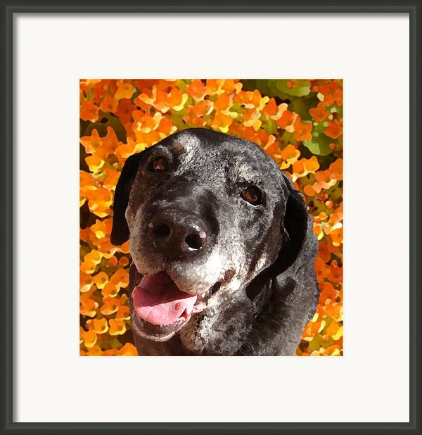 Old Labrador Framed Print By Amy Vangsgard