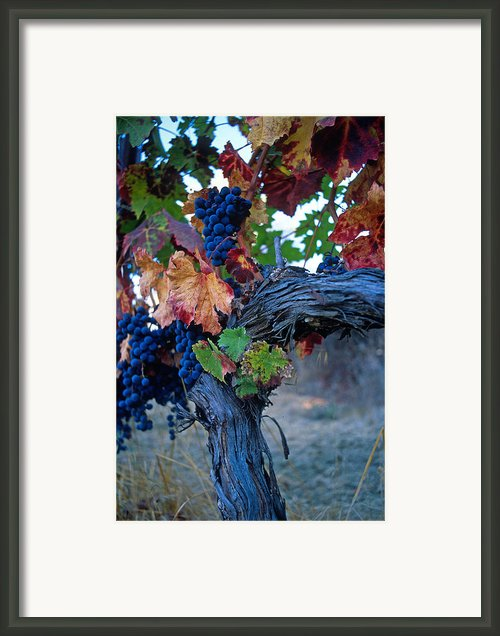 Old Vine Framed Print By Kathy Yates