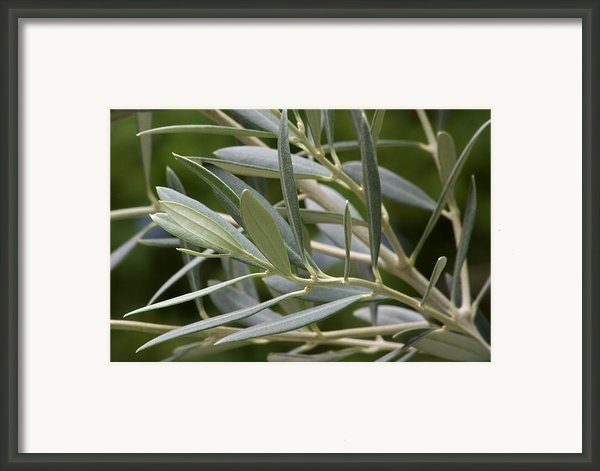 Olive Branch Framed Print By Maria Bedacht