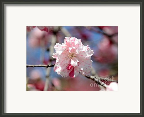 One Pink Blossom Framed Print By Carol Groenen