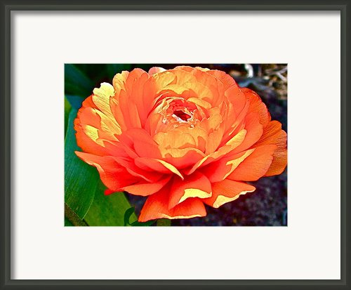 Orange Renicula In Park Sierra Near Coarsegold-ca Framed Print By Ruth Hager