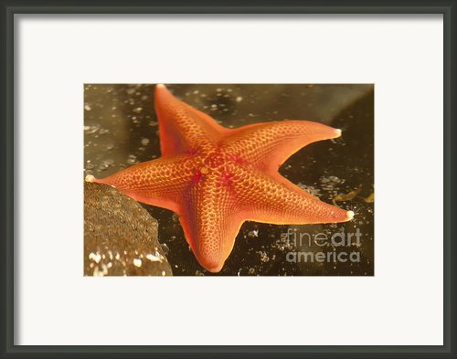 Orange Starfish In California Ocean Framed Print By Author And Photographer Laura Wrede