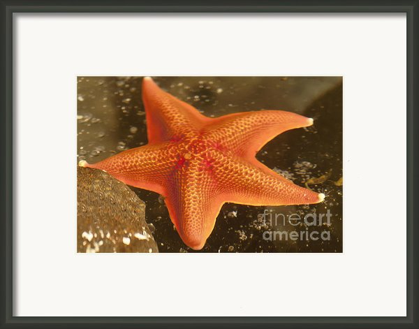 Orange Starfish In California Ocean Framed Print By Artist And Photographer Laura Wrede