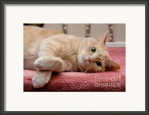 Orange Tabby Cat Lying Down Framed Print By Amy Cicconi