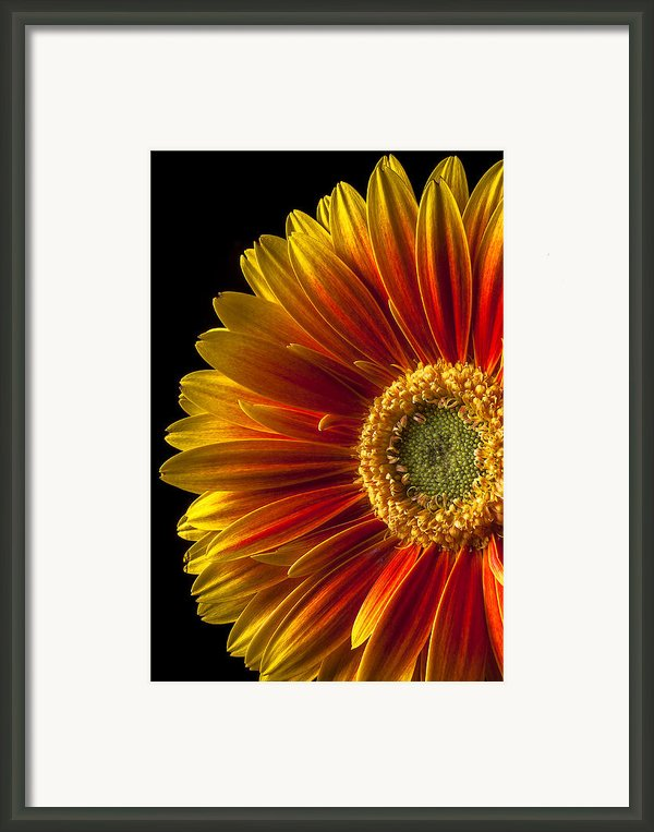 Orange Yellow Mum Close Up Framed Print By Garry Gay