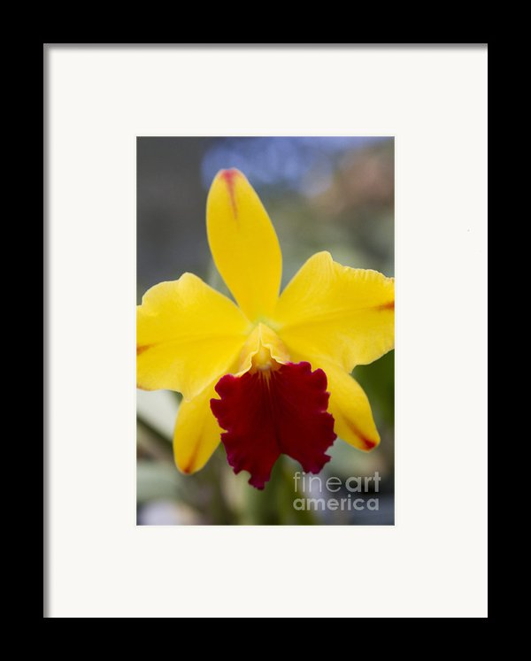 Orchid Beauty - Cattleya - Pot Little Toshie Mini Flares Mericlone Hawaii Framed Print By Sharon Mau