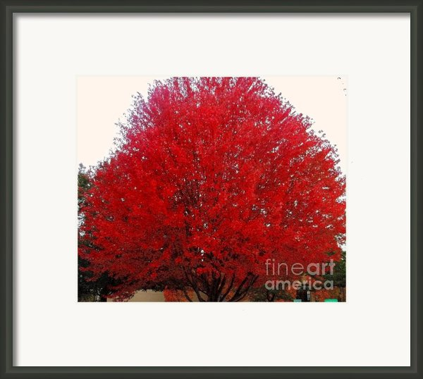 Oregon Red Maple Beauty Framed Print By Kim Petitt