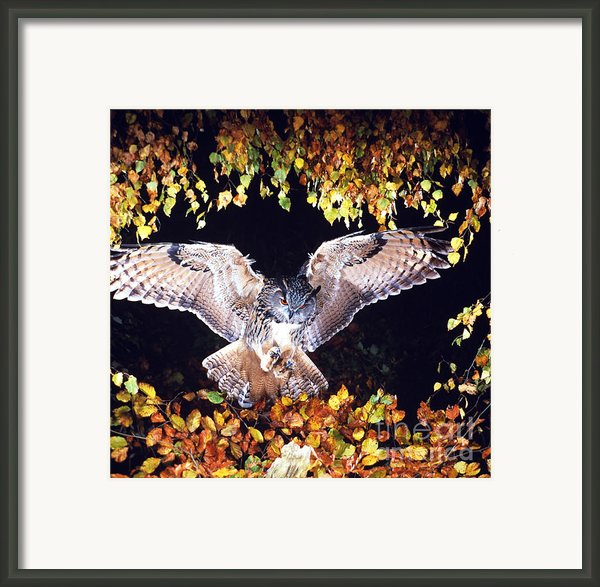Owl About To Land Framed Print By Manfred Danegger