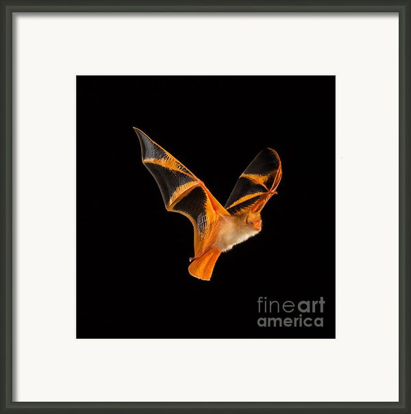Painted Or Butterfly Bat Framed Print By Merlin D Tuttle
