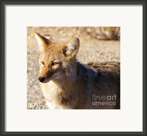 Panamint Springs Coyote Framed Print By Michele Penner