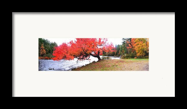 Panorama Of Red Maple Tree, Muskoka Framed Print By Henry Lin