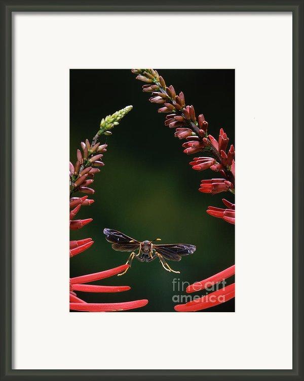 Paper Wasp In Flight Framed Print By Stephen Dalton