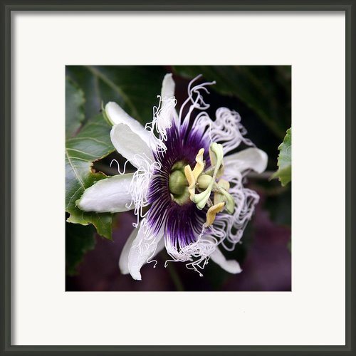 Pasionfruit Flower Framed Print By Jeffrey Lee