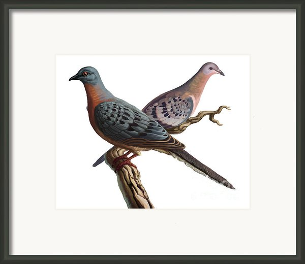 Passenger Pigeon  Framed Print By Spencer Sutton