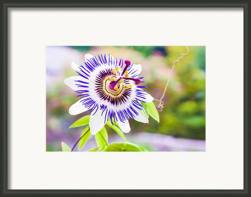 Passiflora Or Passion Flower Framed Print By Semmick Photo