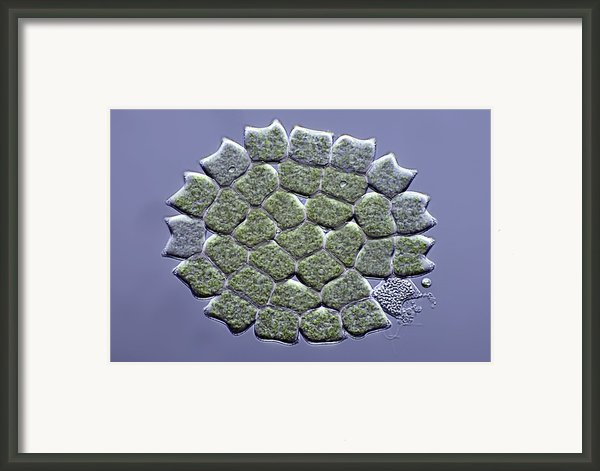 Pediastrum Green Algae, Micrograph Framed Print By Science Photo Library