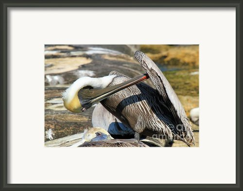 Pelican Scratch Framed Print By Adam Jewell