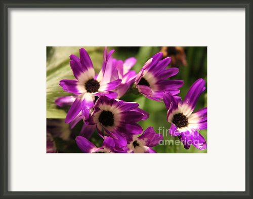Pericallis 3 Framed Print By Cathy Lindsey
