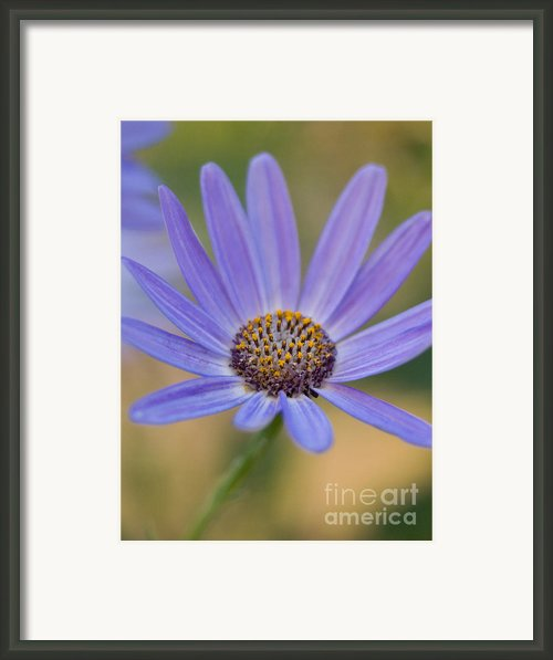 Pericallis Senetti Flower Framed Print By Dorothy Lee