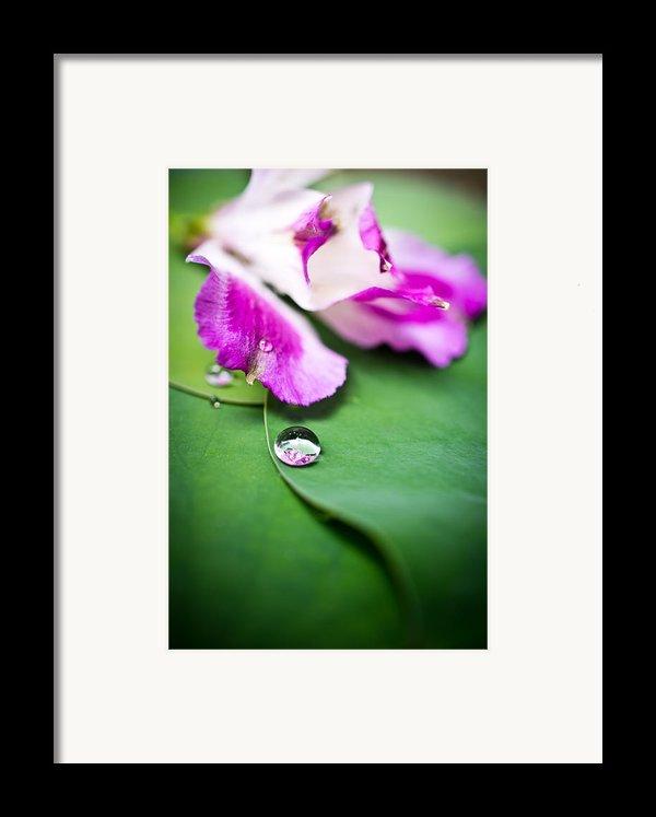 Peruvian Lily Raindrop Framed Print By Priya Ghose