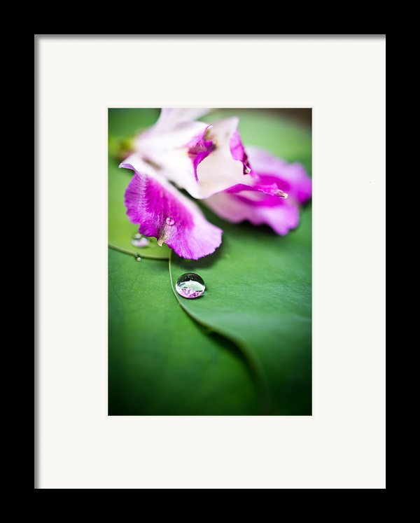Peruvian Lily Raindrop Framed Print By Priya Ghose