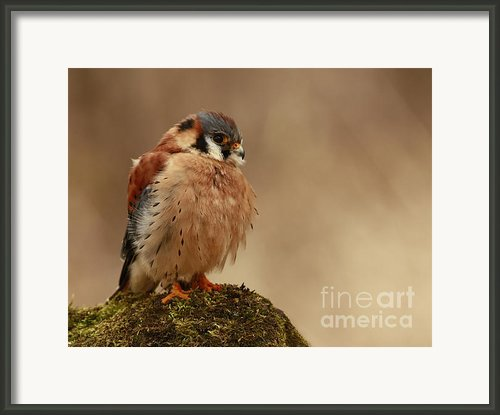Picture Perfect American Kestrel  Framed Print By Inspired Nature Photography By Shelley Myke