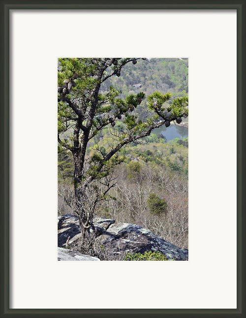 Pine Tree On A Mountain Framed Print By Susan Leggett