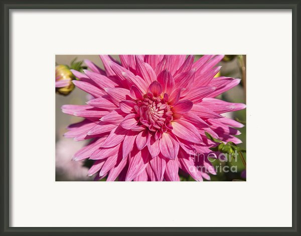 Pink Dahlia Ii Framed Print By Peter French