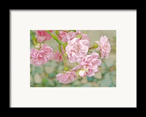 Pink Fairy Roses Framed Print By Jennie Marie Schell