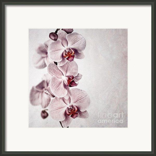 Pink Orchid Vintage Framed Print By Jane Rix