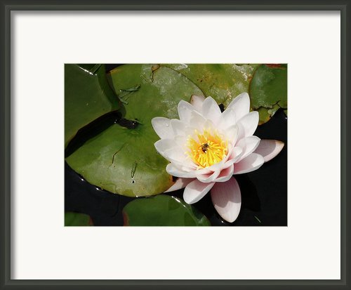 Pink Watter Lilly Framed Print By Gilbert Artiaga